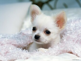 Animal wallpaper   Chihuahua wallpaper   1600x1200 wallpaper