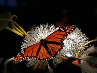 Monarch Butterfly Wallpaper HD 21102   Baltana