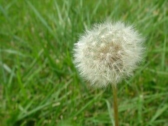 1920x1440 Dandelion desktop PC and Mac wallpaper