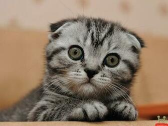 cute cat hd funny animal wallpapers 1080p HD Backgrounds 2014