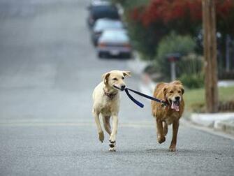 Dog Walking Golden and Yellow Labrador Retriever Mix
