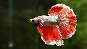 Recent Betta Background Wallpapers GsFDcY HD Wallpapers