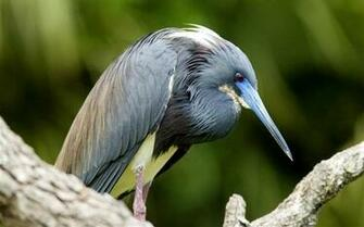 tricolored heron florida bird theme desktop wallpaper