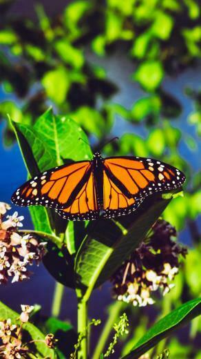Download wallpaper 938x1668 monarch butterfly butterfly bright