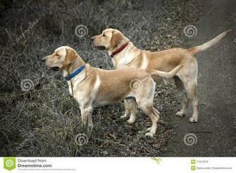 Yellow Lab Hunting Royalty