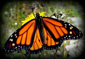 Monarch Butterfly wallpaper   ForWallpapercom
