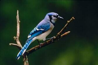Wallpapers Blog blue jay background