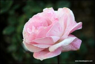 rose wallpaper on Tumblr