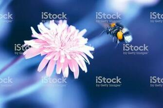 Amazing Artistic Natural Background Bumblebee Flying Over Fanta