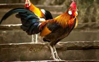 Roosters wallpaper   1378482