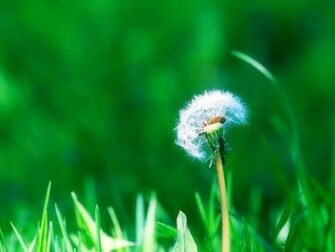 Desktop Wallpapers Dandelion Flowers Desktop Backgrounds
