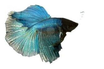 Wallpapers Amazing Colourful Betta Fish Photos Fighter Fish
