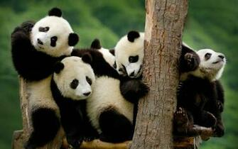 Cute Baby Panda Bear Wallpapers with High Definition
