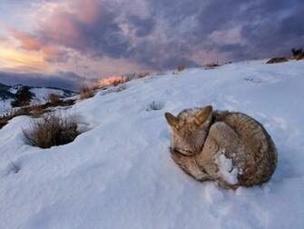 National Geographic Wallpaper   Coyote Yellowstone National Park