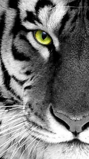 Free Download Tiger Through Glass Iphone Hd Wallpaper Iphone Hd
