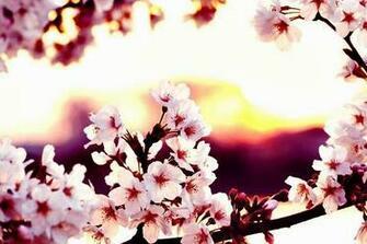 Free Download Gambar Wallpaper Bunga Sakura Jepang Cantik Kata Kata 2016 804x540 For Your Desktop Mobile Tablet Explore 50 Gambar Wallpaper Cantik Gambar Wallpaper Cantik Gambar Wallpaper Islam Gambar Wallpaper Lucu