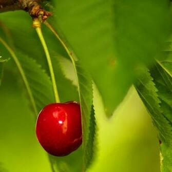 Fresh fruits Cherry iPad wallpapers