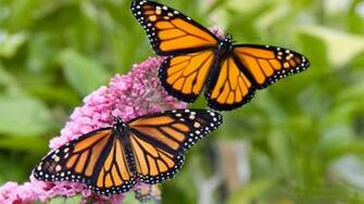 Male And Female Monarch Butterfly Desktop Hd Wallpaper