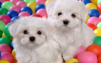 Cute Puppies   Puppies Wallpaper 22040904