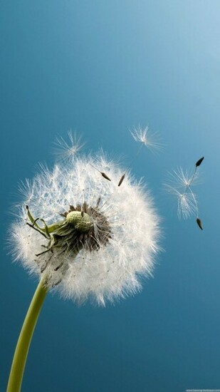 Dandelion Wind Blow Android Wallpaper download