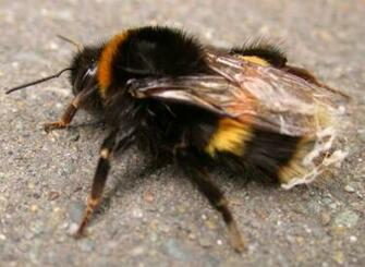Bumble Bee Bumble Bee wallpaper Bumble Bee picture Bumble Bee photo