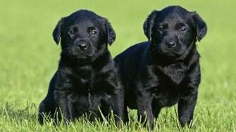 Black Labrador Puppies wallpaper 216440