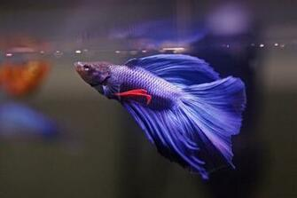 Beta Fish Wallpaper Amazing Wallpapers