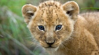 Beautiful Cute Lion Cub Closeup Face HD Wallpapers HD Wallpapers