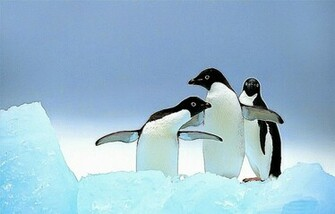 Cute Penguins Animals Wallpaper Wallpapers Gallery