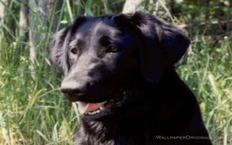 Black Lab   Dogs Wallpaper 13985100
