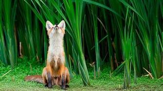 Cute little fox Wallpaper Desktop Wallpapers Wallpapers