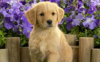 Yellow Labrador Puppy wallpapers HD   239854