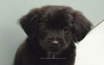 Black Lab Puppy Desktop Backgrounds For Mac Dogs Desktop Lab Black