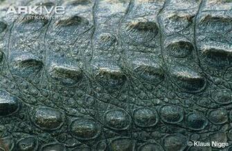 32 Crocodile Skin Wallpapers
