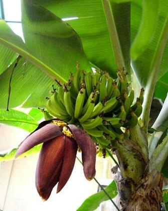 Banana Tree Pictures Banana tree with flower and