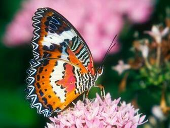 Colorful Butterfly Photos 7 High Resolution Wallpaper   Hivewallpaper