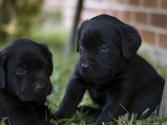 Download 1280x960 Two Black Lab Puppies Wallpaper