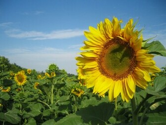 Sunflowers Nature Wallpapers HD Wallpapers