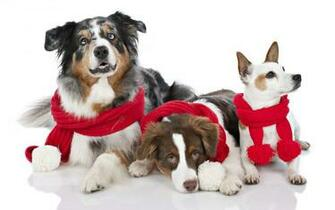 animal dogs look merry christmas red cowl puppy photo wallpaper