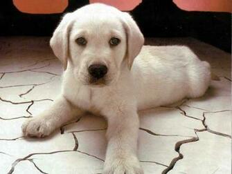 puppy labrador retriever 185   The Dog Wallpaper   Best The Dog
