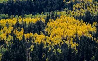 Autumn Trees Aspens Pines Spots Paints Colors From Above
