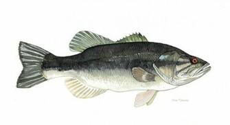 largemouth bass wallpaper Largemouth Bass by