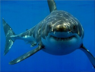 Great White Shark HD Wallpapers HD Wallpapers 360