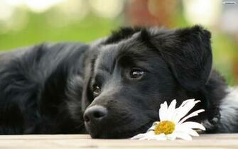 Black Beautiful Dog Wallpaper   wallpaperwallpapersfree wallpaper