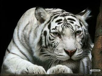 white tiger wallpapers desktop wallpapers Cute wallpapers of white
