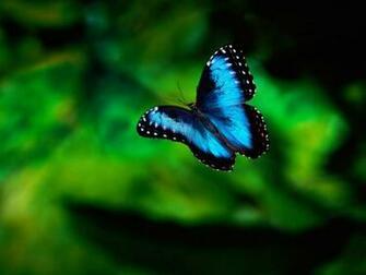 Blue Butterfly HD Wallpaper Animals Wallpapers