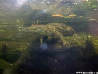Crocodile Wallpapers Download Swamp Killer Crocodiles HD Wallpaper