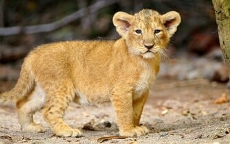 Thats a cute little lion cub 1920x1200 wallpaper download page 814879