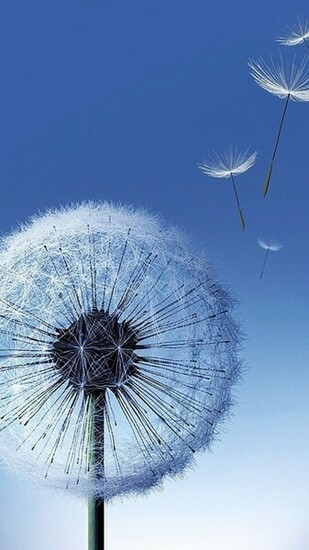 Dandelion Seeds Blowing Wallpaper Related pictures dandelion