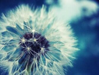Dandelion flower wallpaper Desktop Backgrounds for HD Wallpaper